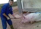 Ett års fängelse för att ha plågat grisar