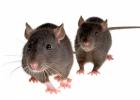 Djurförsök testar om nikotin kan vara skadligt för hjärnan
