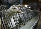 Frankrike förbjuder foie gras - om än tillfälligt