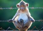 Ökning av antalet apor som exporteras från Mauritius
