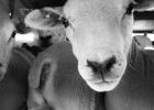 Starkt stöd för krafttag mot plågsamma djurtransporter