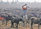 Ingen mer masslakt av djur i Gadhimaifestivalen i Nepal