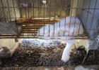 Svårt sjuk kanin på angorafarm i Kina.