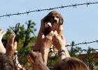 En av de hundar som togs från anläggningen Green Hill i april 2012.