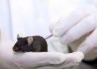 Råtta i djurförsök