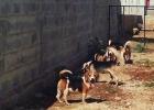 Beagle-hundar