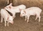 2 500 grisar omhändertas efter vanvård