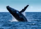 USA:s marin förbjuds använda ekolod som skadar marina däggdjur