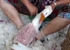 Ny film visar hur fåglar plockas levande för sina fjädrar
