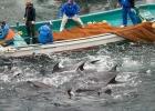Första delfinen för året dödad i Taiji