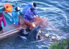 Japanska delfinarier sluter köpa delfiner från Taiji