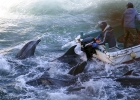 International djurparksorganisation agerar mot Japans delfinjakt