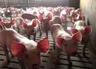 Stoppa förslag om uppfödning av grisar på helspaltgolv