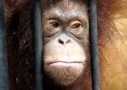 Orangutang (ej Sandra på bilden)