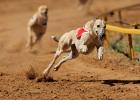 Greyhound-hund
