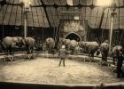 Afrikanska elefanter på Knie 1956