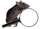 Råtta med förstoringsglas