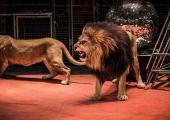 Estland på gång att förbjuda vilda djur på cirkus