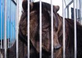 Frihet för Ben, Tysklands sista cirkusbjörn?