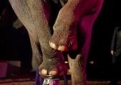Inga elefanter på svenska cirkusar!