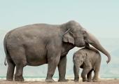 Norge förbjuder elefanter på cirkus