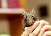 råtta i en hand
