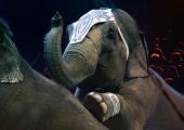 Nu vill 3 av 4 svenskar förbjuda vilda djur på cirkus