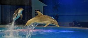 Delfiner på Kolmården.