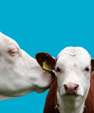 En komamma pysslar om sin kalv