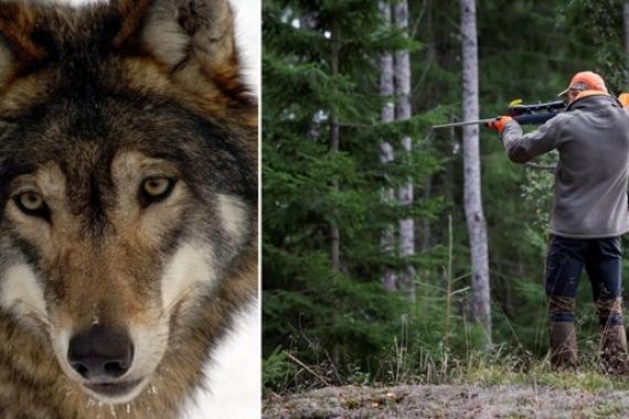 Bildmontage varg och jägare
