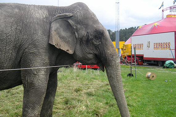 Elefant på cirkus