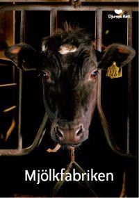 Mjölkfabriken - En rapport om djuren i mjölkindustrin