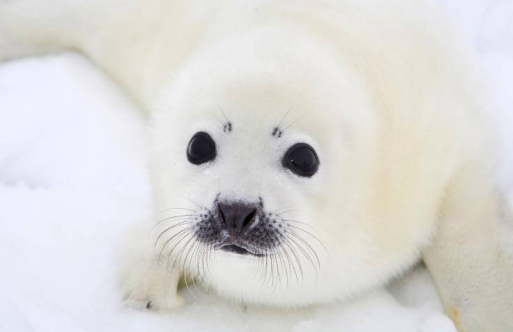 Canada, please end the commercial seal slaughter
